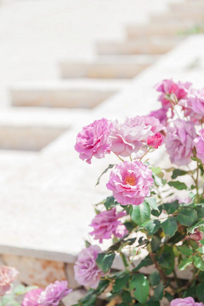Pink Garden Roses at a Villa in Greece